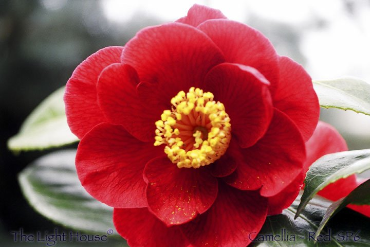 SP06camelliared